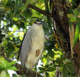 Black-Crowned Night Heron - Rio Frio Cruise