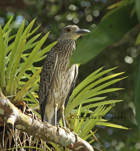 Yellow-Crowned Night Heron (juvenile) - Rio Frio Cruise
