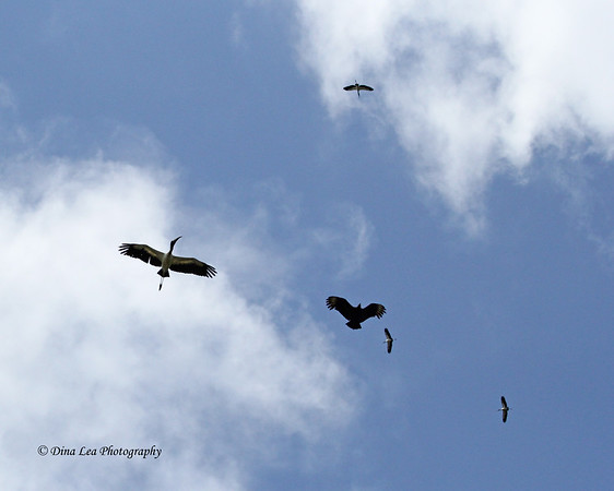 Wood Storks and Black Vulture - Rio Frio Cruise