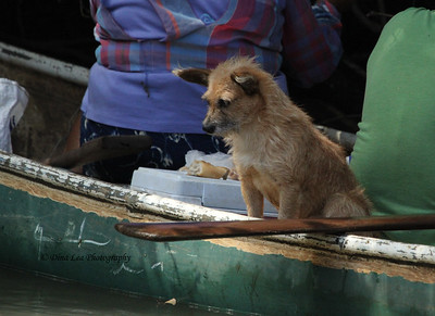 Puppy-Dog In Canoe - Rio Frio Cruise