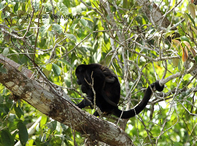 Howler Monkey With Baby - Rio Frio Cruise