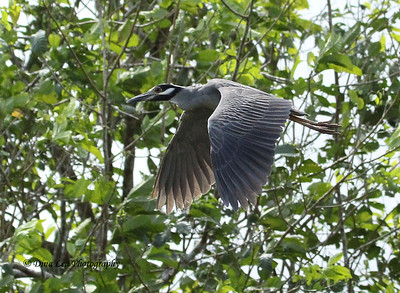 Yellow-Crowned Night Heron - Rio Frio Cruise