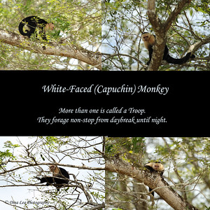 White-Faced (Capuchin) Monkey - Rio Frio Cruise