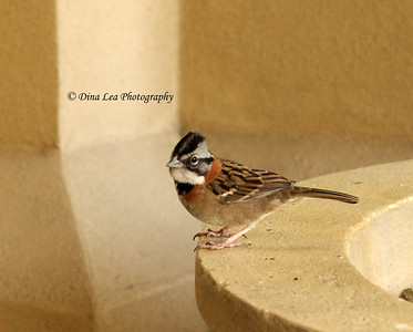 Roufous-Collared Sparrow