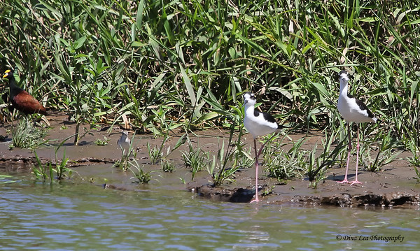 Northern Jacana - Sandpiper - Two Black-Necked Stilts