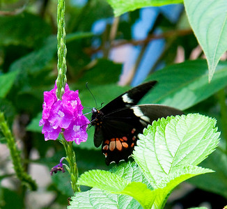 Swallow-tailed Butterfly - Costa Rica