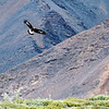 Golden Eagle, Alaska