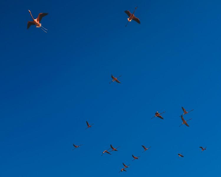 Flight of the flamboyance (group of flamingos) in Guanaroca Lagoon outside of Cienfuegos.