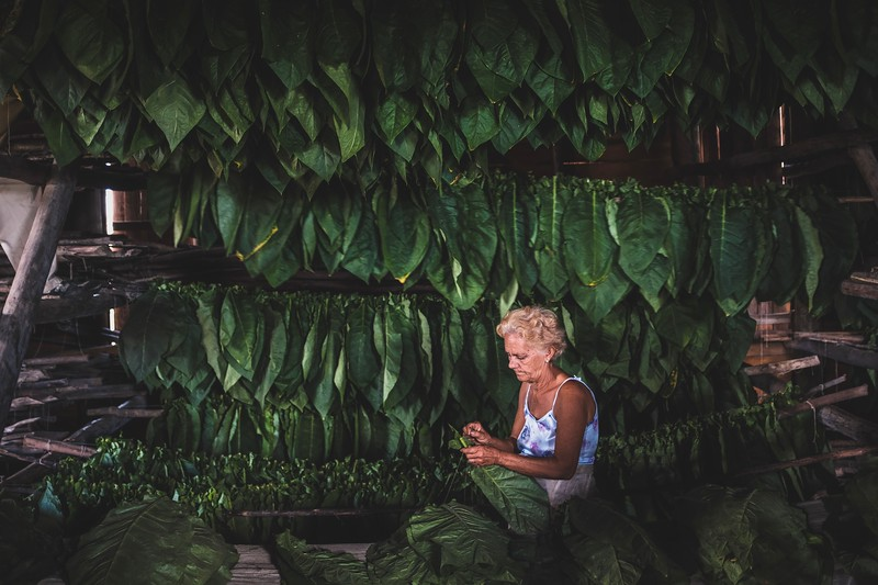 A woman threads freshly cut tobacco leaves onto sticks. The sticks are then lifted into a barn to dry the leaves which will eventually become cigars.