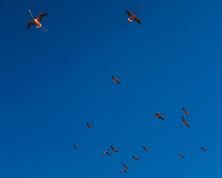 Flight of the flamboyance (group of flamingos) in Guanaroca Lagoon outside of Cienfuegos.