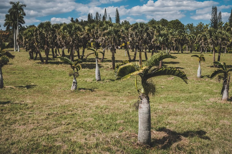 The palm trees of  the Cuba's national botanical gardens, outside of Havana.