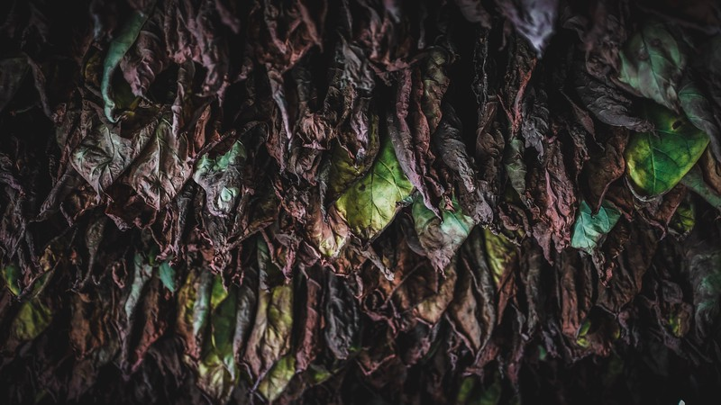 Tobacco leaves dry in a barn in Pinar del Río, Cuba.