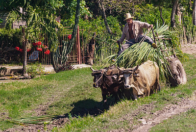 Ox Cart and sugar cane.ARW