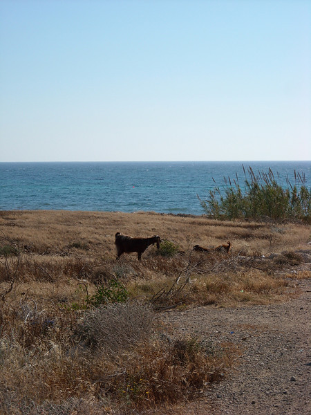 Goats grazing outside the timeshare.