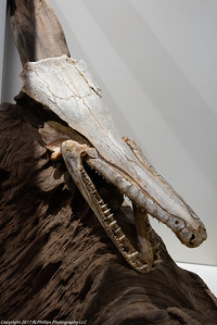 Alligator Head Fossil