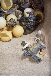 Turtles hatching