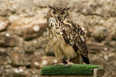 Bongo, the Owl