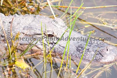 Everglades2011_0381