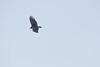 Sam's Point - Hawk in Flight