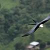 Swallow-tailed Kite -Yanacocha Ecuador