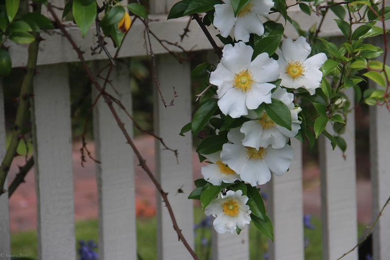 Cupola House flowers, Edenton
