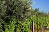Olive Tree with Vines