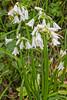 Spanish Hyacinths