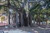 Palermo - Banyan Tree in Giardino Garibaldi 2