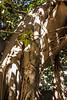 Palermo - Banyan Tree in Giardino Garibaldi 3