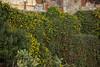 Taormina - Wall with Flowers