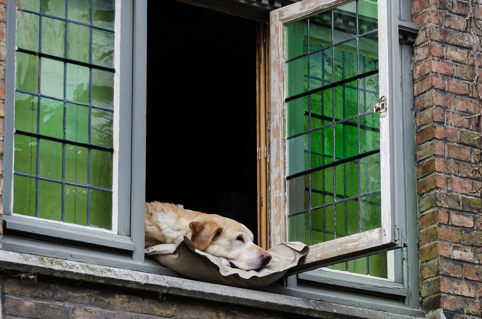 Fidel, Most Photographed Dog in Brugges.