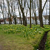 Daffodils in the Nunnery, Brugges