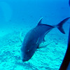 The fish iis called a Bluefin Trevally. The local name is Omilu. They are a member of the Jack family and can grow to 20 - 25 lbs