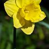 Daffodil in Keukenhof