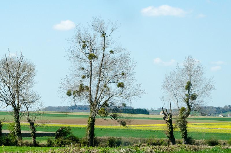 Mistletoe Growing in Normandy