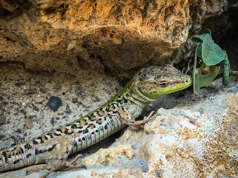 Tuscan lizard