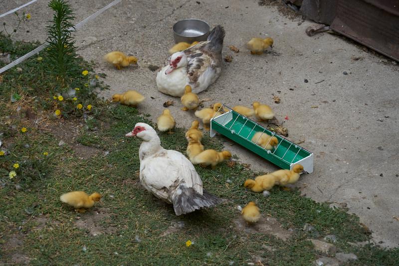 Ducks St Hilaire