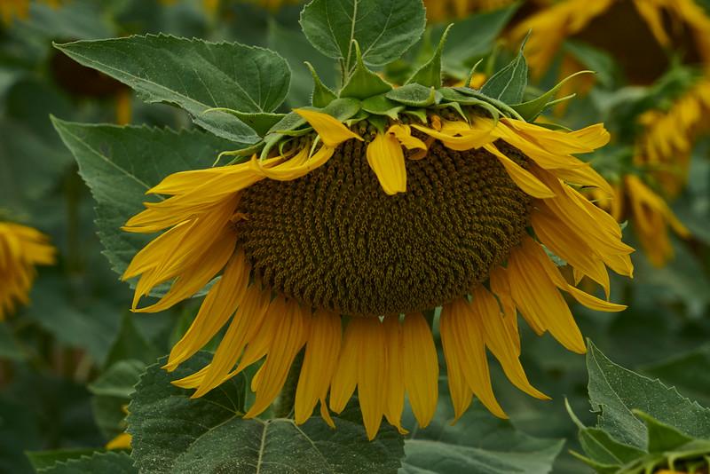 Close look sunflower