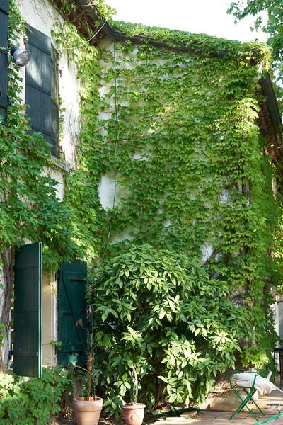 Plenty of ivy