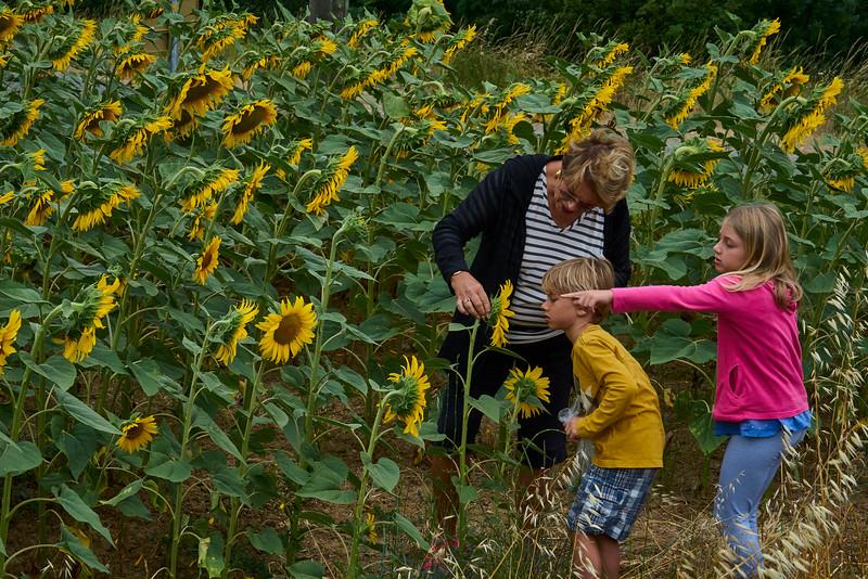 Inspecting the Sunflower