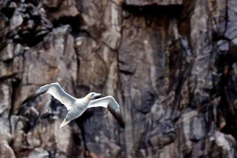 Northern Gannet in front of Cliffs Runde Island