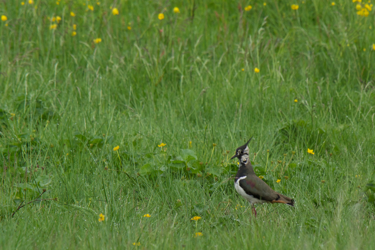 Lapwing calling to Chick