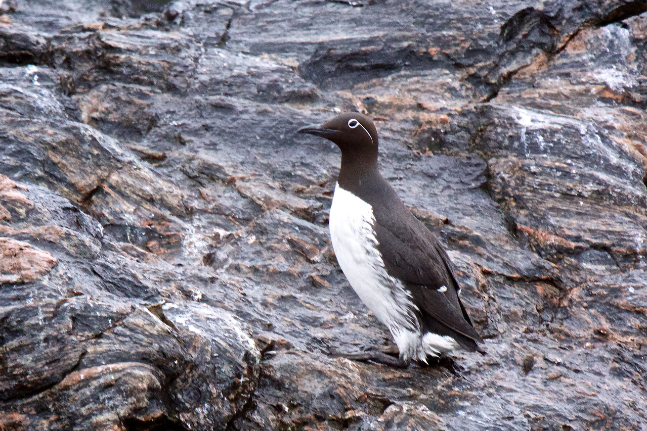 Common Guillimot with 'spectacle'