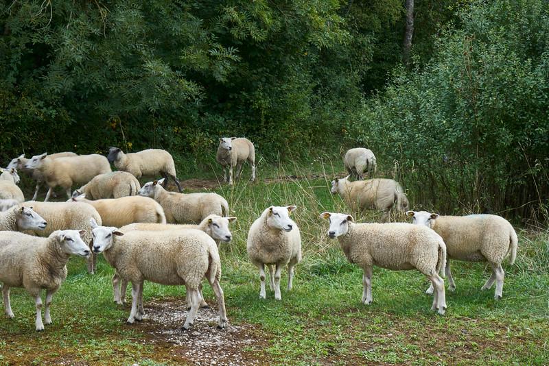 Sheep at the lock