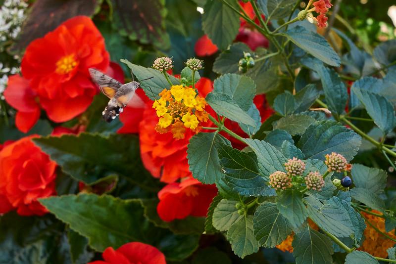 Large bumble bee Ribeauville route de vin Alsace