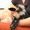 Rescued lamb
