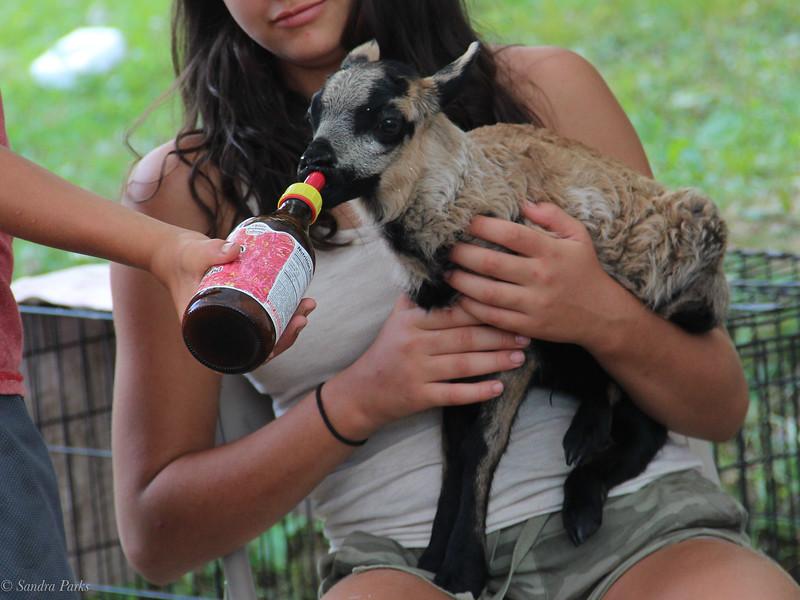 Lamb feeding