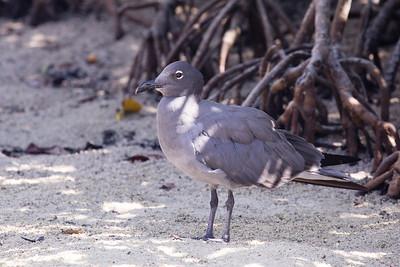 Lava Gull (Leucophaeus fuliginosus)