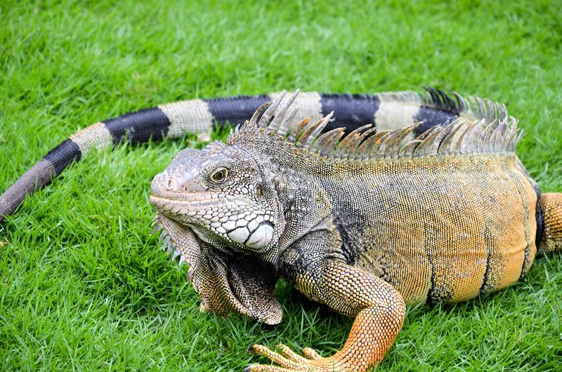 Green iguana, Seminario Park (Iguana Park), Guayaquil