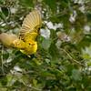 Yellow Warbler Takes Wing